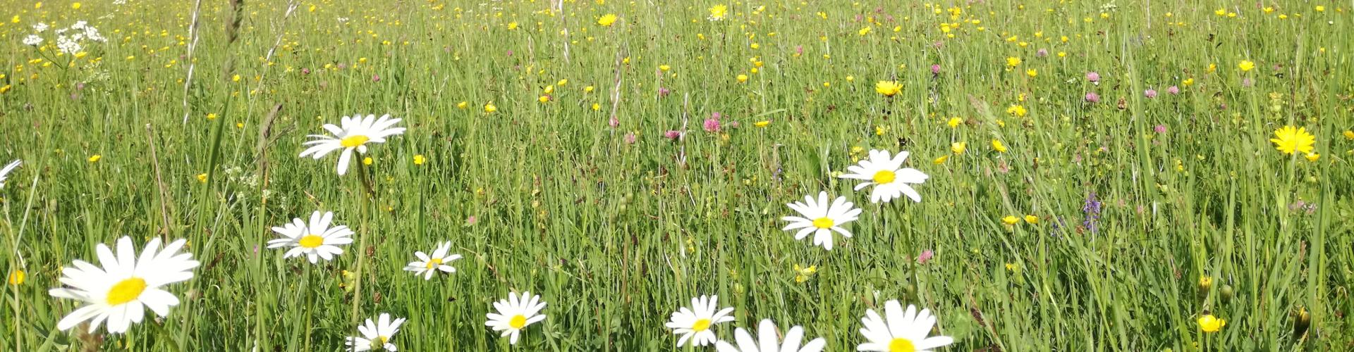 Sommerblumen, © TVB Mariazeller Land