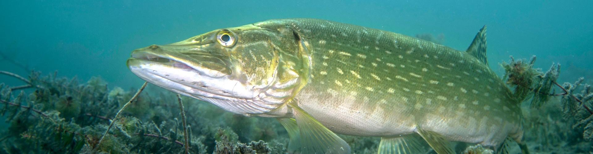 Fisch, © Franz Hajek