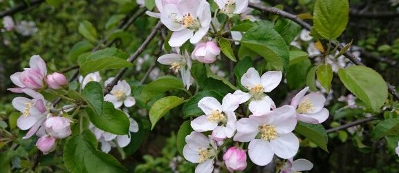 Apfelblüte © TVB Mariazeller Land/Digruber