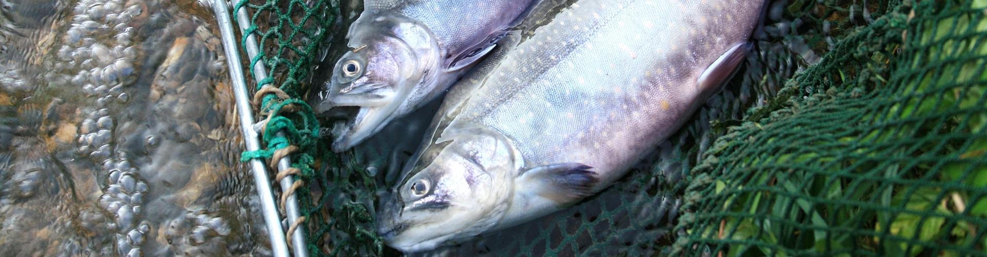 Forelle im Netz, © decleva's alpenfisch