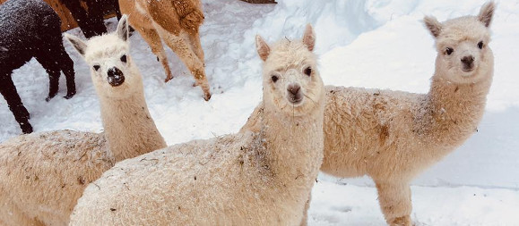 Alpakas, © Alexandra Sabath